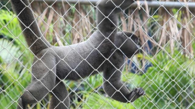 Macaco é diagnosticado com febre amarela no zoológico de SP