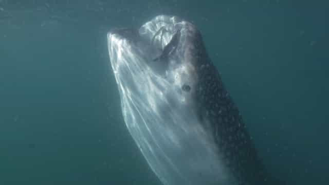 Vídeo mostra boca gigante de tubarão-baleia