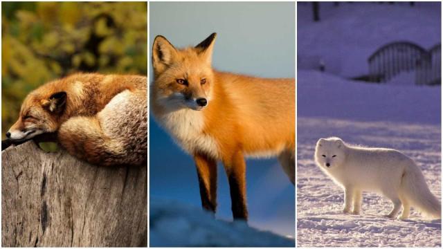 Espertas e malandras: melhores momentos de raposas flagrados em vídeo