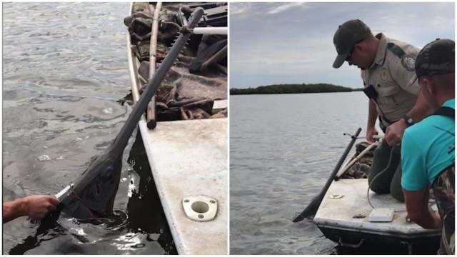 Homens salvam raro peixe-serra nos EUA