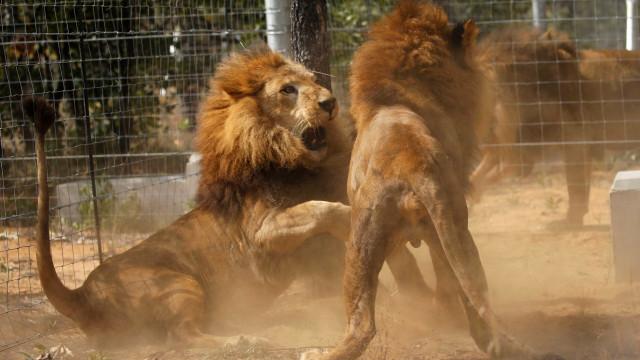 Leões atacam e matam caçador em reserva privada na África do Sul