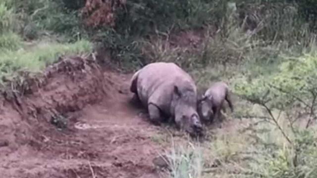 Bebê rinoceronte tenta acordar mãe morta por caçadores; assista