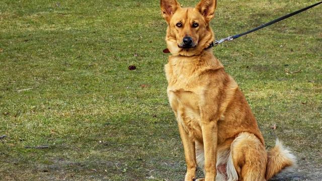 Coleiras de treino que dão choque em cães vão ser banidas