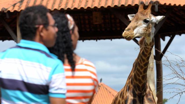 Girafa Yvelise morre aos 7 anos no Zoológico de Brasília