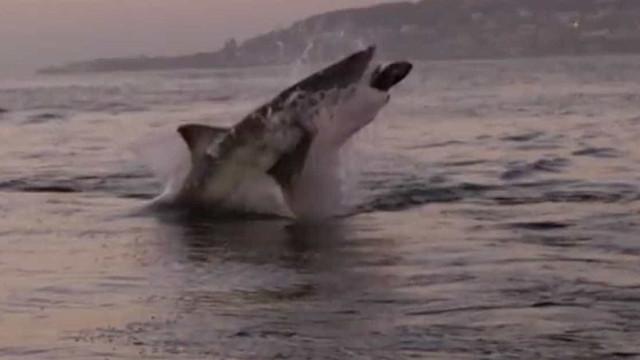 Tubarão branco dá salto impressionante fora da água