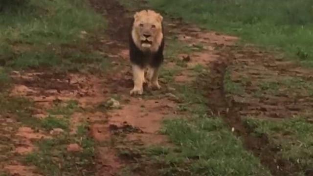 Leão ruge e assusta turistas em safari; vídeo