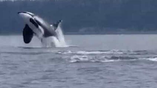 Orcas fazem saltos impressionantes no Canadá