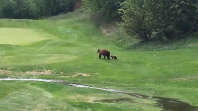 Ursos invadem campo de golfe no Canadá