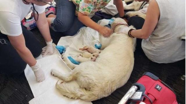 Cachorra dá à luz oito filhotes em terminal de aeroporto nos EUA
