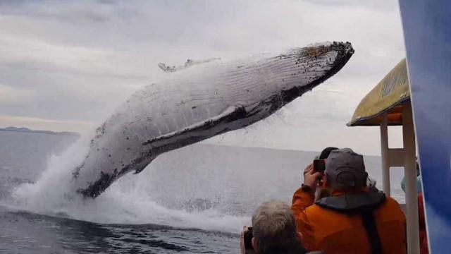 Baleia-jubarte pula na frente de barco turístico na Austrália