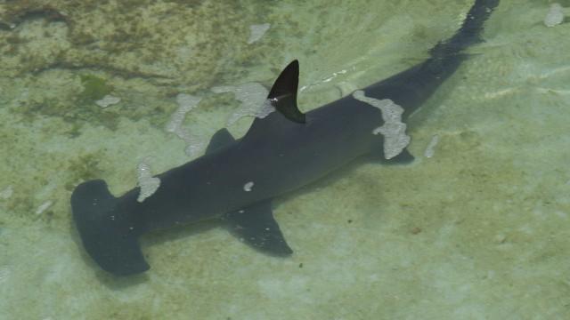 Tubarão martelo é capturado e morto por mergulhadores em Salvador