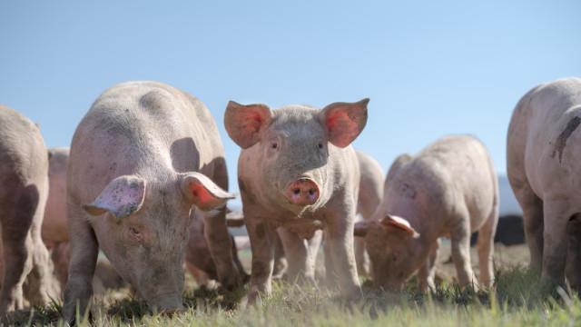 Agricultor polaco desaparecido foi comido por porcos