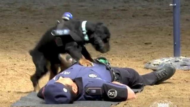 Cãozinho policial aprende a fazer massagem cardíaca