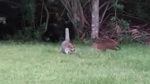 Mãe guaxinim luta com lince para proteger filhotes; vídeo