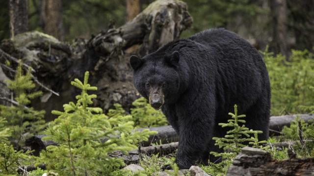 Urso persegue cachorro em plena rua nos EUA; veja