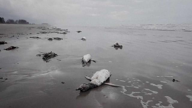 Mais de 200 pinguins são encontrados mortos no litoral de SP