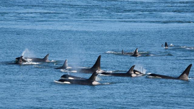 Grupo de orcas é avistado em praias de Ilhabela, no litoral norte de SP