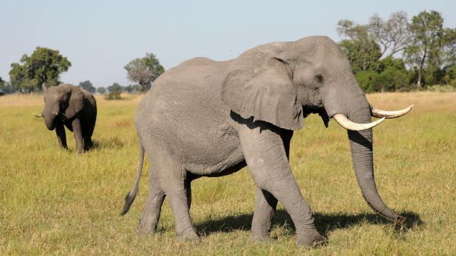 Centenas de elefantes mortos em misterioso massacre no Botswana