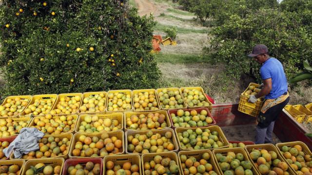 Estiagem derruba previsão de safra de laranja em São Paulo