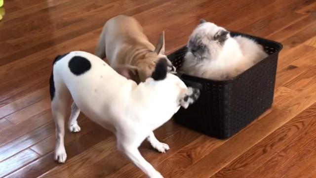 Gato é tratado como realeza por dois cães; veja