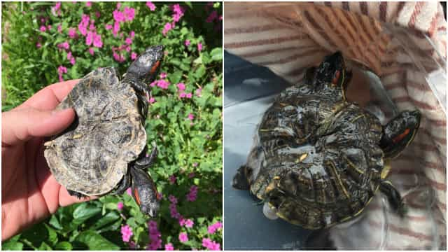 Tartaruga mutante de duas cabeças é encontrada nos EUA