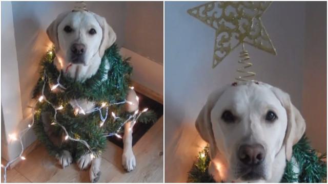 Já pensou em transformar seu cachorro em uma árvore de Natal?