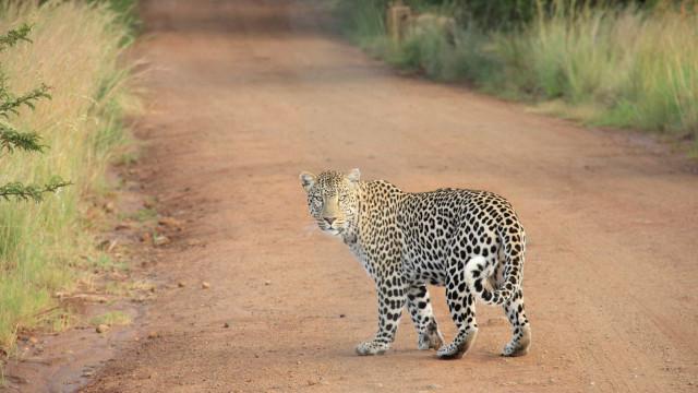 Monge vai meditar na floresta e acaba morto por leopardo