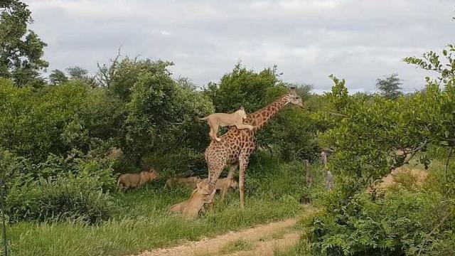 Girafa luta pela sobrevivência em ataque de leões; veja o vídeo