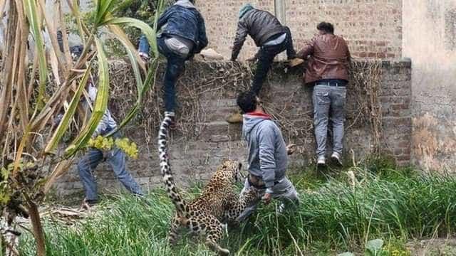 Leopardo é caçado por centenas de pessoas na Índia e fere seis; vídeo