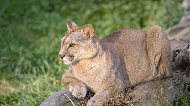 Puma ataca menina de seis anos em parque da Califórnia