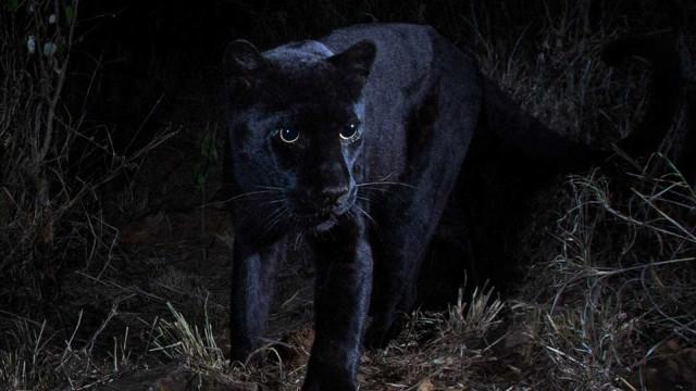 Leopardo negro é fotografado na África pela primeira vez em 100 anos