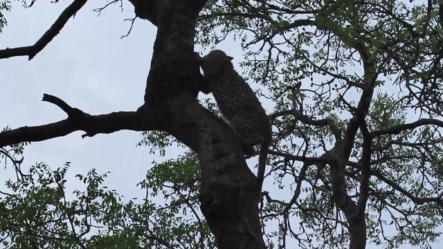 Natureza selvagem: leopardo se esconde nas árvores com medo de leoa