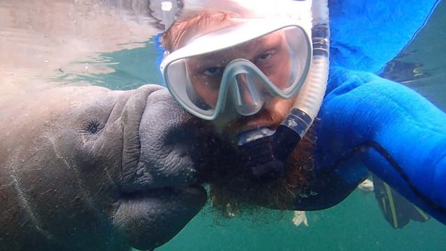 Peixe-boi tenta comer barba de mergulhador; assista