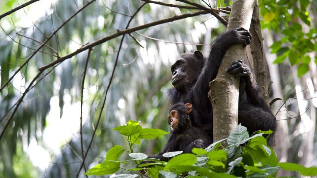 Estudo diz que humanos estão 'acabando com a cultura dos chimpanzés