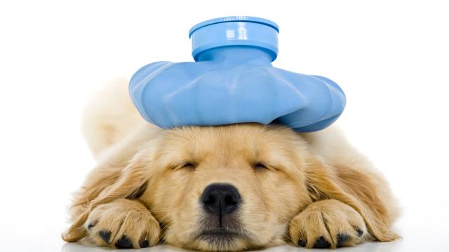 Chuvas aumentam risco de leptospirose também em cachorros