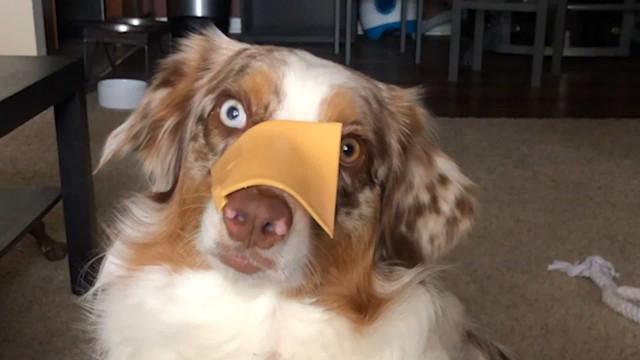 Cadela fica confusa com o desafio do queijo