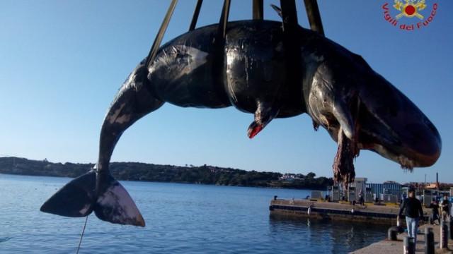 Baleia grávida é encontrada morta com 22 kg de plástico no estômago