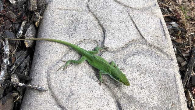 Amigos? Criança fica assustada com lagartinho inofensivo!
