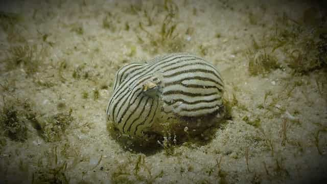 Conheça esta espécie de lula minúscula!