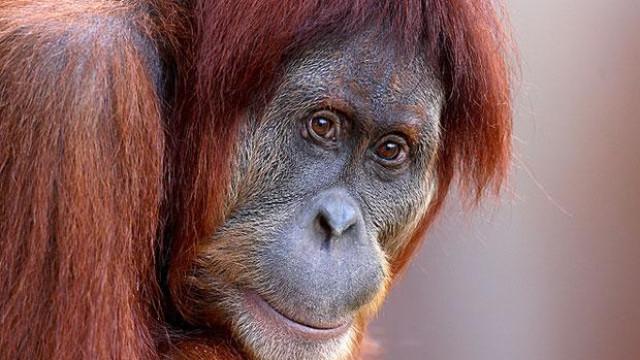 Orangotango foi usada como prostituta durante anos em bordel asiático