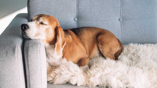 Cães conseguem farejar câncer com 97% de precisão