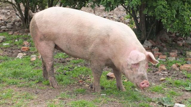 Assaltante mata cúmplice após brigarem durante roubo de porco