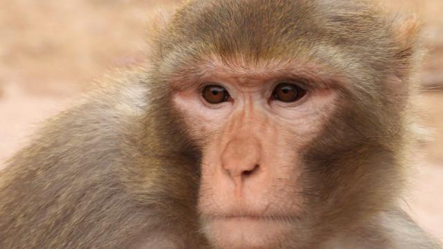 Cientistas criam macacos com autismo para testar novos medicamentos
