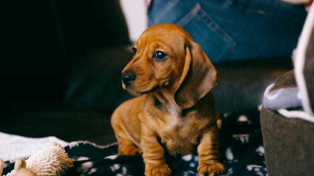 As cinco melhores raças de cães para ter num apartamento