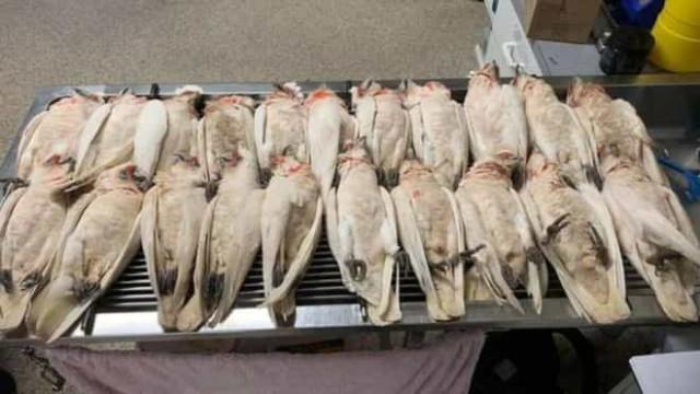 'Chuva de pássaros mortos' assusta australianos