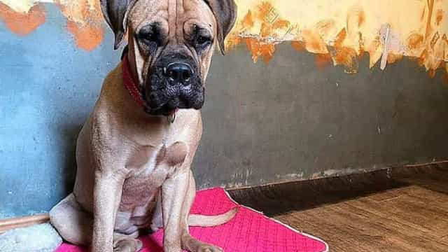 Cadela percorre 200 kms à procura dos donos que a deixaram no canil