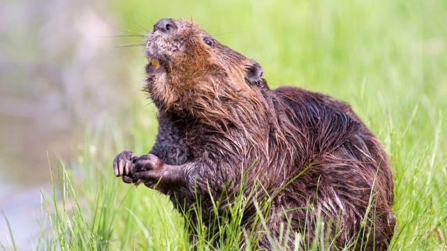Adolescente morre de peste bubônica após comer carne de marmota