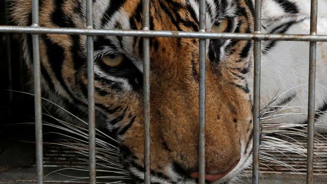 Dezenas de tigres morrem após serem retirados de templo na Tailândia