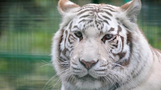 Tigre albino descoberto enjaulado numa casa em Alicante