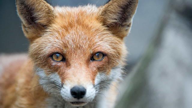 Mulher morre com raiva três meses depois de ser mordida por raposa